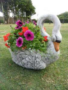 A 60s Planter Swan in full bloom